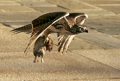 Do Red Tailed Hawks Eat Cats
