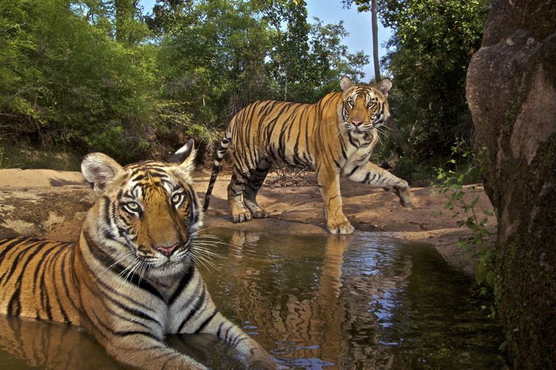 tiger conservation essay After a century of decline, tiger numbers are on the rise at least 3,890 tigers remain in the wild, but much more work is needed to protect this species that's.